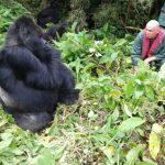 With Kohundo Male Silver Back Gorilla